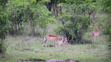 small group of animals : Common Impala young animals running and playing in Kruger National park, South Africa; Specie Aepyceros melampus family of Bovidae