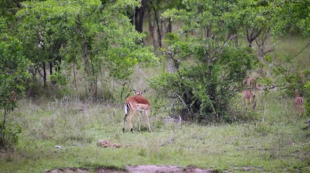 limpopo : Common Impala young animals running and playing in Kruger National park, South Africa; Specie Aepyceros melampus family of Bovidae