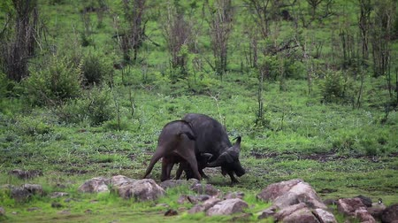 limpopo : Two African buffalo fighting in Kruger National park, South Africa; Specie Syncerus caffer family of Bovidae Stock Footage