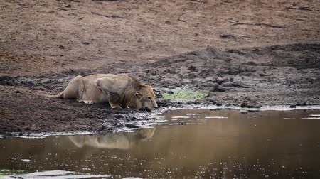 limpopo : African lion drinking water in Kruger National park, South Africa; Specie Panthera leo family of Felidae