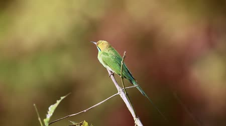 reserva : Green bee-eater in hunting time in Bardia National Park, Nepal - specie Merops orientalis family of Meropidae
