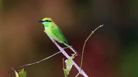 insectivorous birds : Green bee-eater in hunting time in Bardia National Park, Nepal - specie Merops orientalis family of Meropidae
