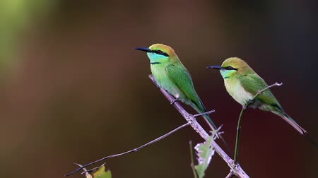 ranthambore national park : Green bee-eater in Bardia national park, Nepal - Specie Merops orientalis family of Meropidae