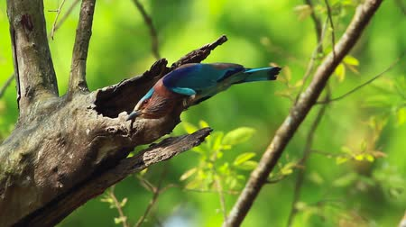 indian roller : Indian roller bladder in Bardia national park, Nepal - specie Coracias benghalensis coraciidae Stock Footage