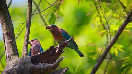 indian roller : Indian roller couple with spread wings in Bardia national park, Nepal - specie Coracias benghalensis family of Coraciidae