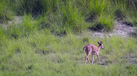 bardia : Spotted Deer small group running in grass in Bardia National Park, Nepal - Specie Axix axis family of Cervidae