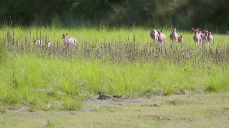 ranthambore national park : Spotted Deer small group running in grass in Bardia National Park, Nepal - Specie Axix axis family of Cervidae
