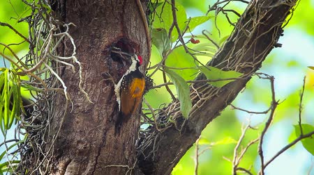 picidae : Black-rumped flameback nesting and feeding chicks in Bardia National Park, Nepal - Specie Dinopium benghalense family of Picidae