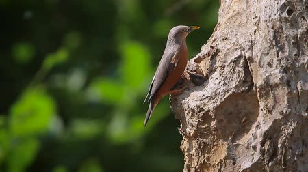 szpak : Chestnut-tailed starling nesting in Bardia national park, Nepal - specie Sturnus malabaricus family of Sturnidae