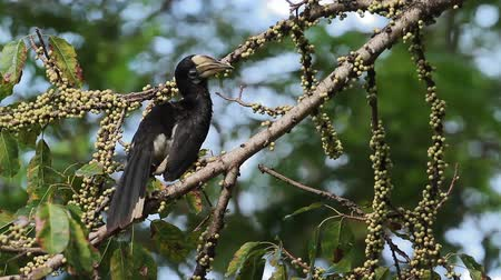orientalne : Oriental foot hornbill in fruit tree in Koh Tarutao National Park, Thailand - Specie Anthracoceros albirostris family of Bucerotidae