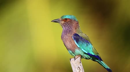 indian roller : Indian roller with palm tree background in Kalpitiya in Sri Lanka; specie Coracias benghalensis family Coraciidae Stock Footage
