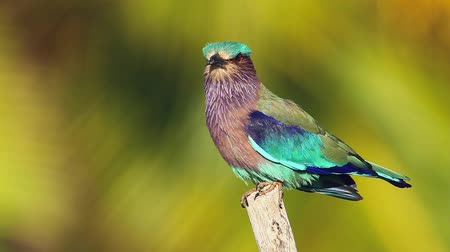 шри : Indian roller with palm tree background in Kalpitiya in Sri Lanka; specie Coracias benghalensis family Coraciidae Стоковые видеозаписи