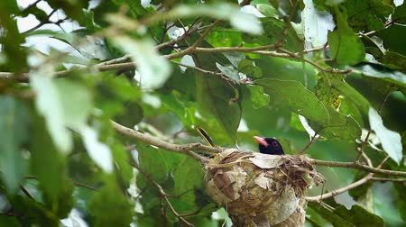 insectivorous birds : Black-hooded oriole incubating in Minnerya National Park, Sri Lanka; Oriolus xanthornus family specie family of Corvidae Stock Footage