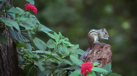 sciuridae : Cute Indian palm squirrel eating in Sri Lanka - Funambulus Specar palmarum family of Sciuridae