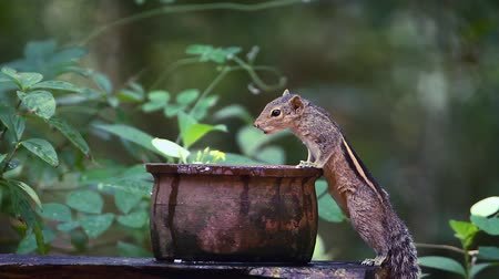 sciuridae : Cute Indian palm squirrel in Sri Lanka - Specie Funambulus palmarum family of Sciuridae Stock Footage