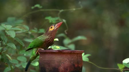barbet : Brown-headed barbet chased by Green imperial Pigeon in Sri Lanka - specie Ducula aenea family of Columbidae