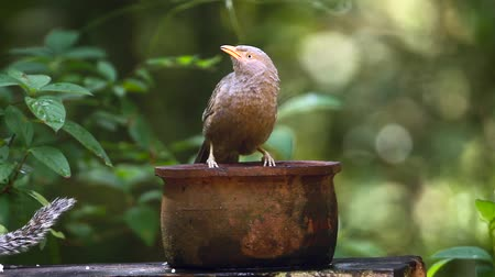 babbler : Yellow-billed Babbler bathing in Minneriya national park, Sri Lanka - Specie Turdoides affinis family of Leiothrichidae Stock Footage