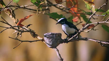 reserva : White-browed fantail flycatcher nesting in Minneriya National Park, Sri Lanka - Specie Rhipidura Aureola Family of Rhipiduridae Stock Footage