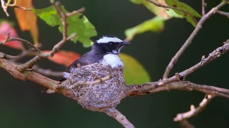 шри : White-browed fantail flycatcher nesting in Minneriya National Park, Sri Lanka - Specie Rhipidura Aureola Family of Rhipiduridae Стоковые видеозаписи