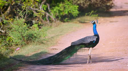 cristatus : Indian peafowl male preening and grooming in Bundala National Park, Sri Lanka; specie Pavo cristatus family of Phasianidae Stock Footage