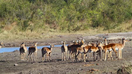wildlife photography : Large group of Common Impala in Lake Kruger National Park, South Africa; Specie Aepyceros melampus family of Bovidae