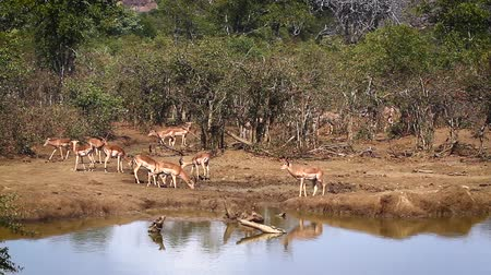 wildlife photography : Common Impala group in waterhole in Kruger National Park, South Africa; Specie Aepyceros melampus family of Bovidae
