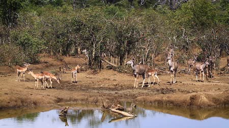 greater : Common Impala and Greater Kudu in Kruger National Park, South Africa; Specie Aepyceros melampus and Tragelaphus strepsiceros family of Bovidae