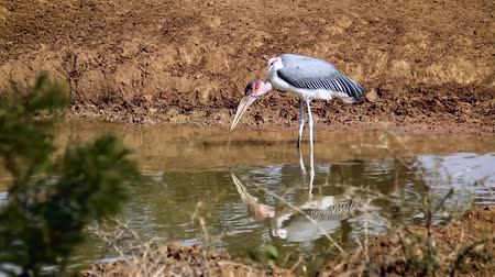 wildlife photography : Marabou stork drinking in waterhole in Kruger National Park, South Africa; Specie Leptoptilos crumenifera family of Ciconiidae