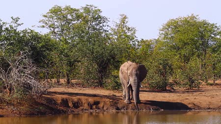 limpopo : African bush elephant drinking in waterhole in Kruger National Park, South Africa; Specie Loxodonta africana family of Elephantidae