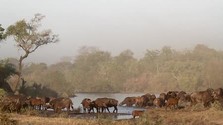 mevcut : African buffalo herd in misty morning scenery in Kruger National Park, South Africa; Specie Syncerus caffer family of Bovidae