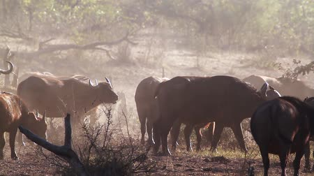 búfalo : African buffalo herd in a misty morning in Kruger National park, South Africa; Specie Syncerus caffer family of Bovidae Stock Footage