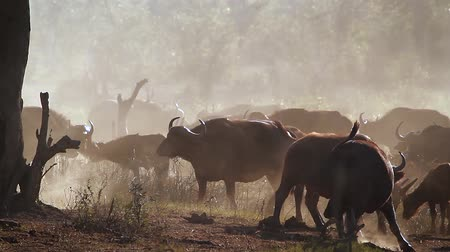 buvol : African buffalo herd in a misty morning in Kruger National park, South Africa; Specie Syncerus caffer family of Bovidae Dostupné videozáznamy