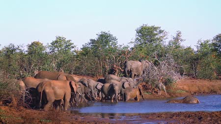 zimbabwe : African bush elephant herd drinking in Kruger National Park, South Africa; Specie Loxodonta africana family of Elephantidae