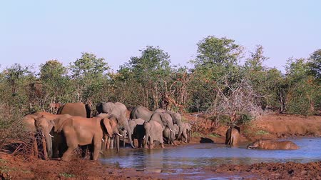 endangered species : African bush elephant herd drinking in Kruger National Park, South Africa; Specie Loxodonta africana family of Elephantidae