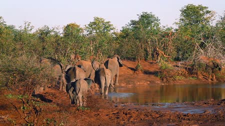 mevcut : African bush elephant herd in waterhole in Kruger National Park, South Africa; Specie Loxodonta africana family of Elephantidae