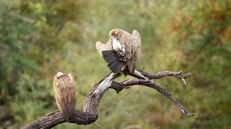 necked : Two White backed Vulture grooming and preening in Kruger National Park, South Africa; Specie Gyps africanus family of Accipitridae