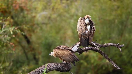 accipitridae : Two White backed Vulture grooming and preening in Kruger National Park, South Africa; Specie Gyps africanus family of Accipitridae