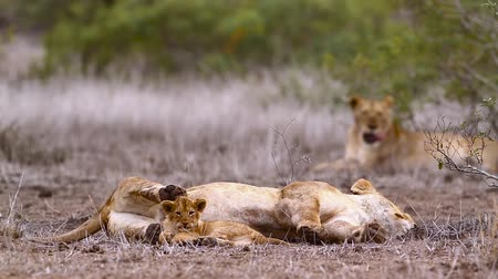 felidae : African lioness with tiny cub in Kruger National Park, South Africa; Specie Panthera leo family of Felidae Stock Footage