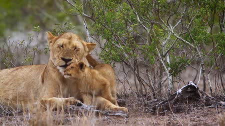 ragadozó : African lioness with cute cub in Kruger National Park, South Africa; Specie Panthera leo family of Felidae