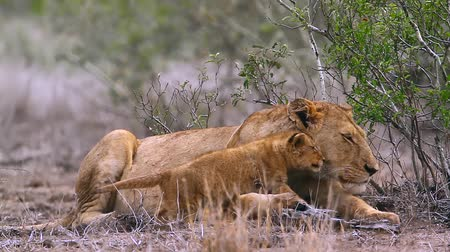 felidae : African lioness with cute cub in Kruger National Park, South Africa; Specie Panthera leo family of Felidae