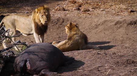 yaban kedisi : Two African lion with hippo carcass in Kruger National Park, South Africa; Specie Panthera leo family of Felidae Stok Video