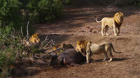 felidae : Four African male lion with hippo carcass in Kruger National Park, South Africa; Specie Panthera leo family of Felidae Stock Footage