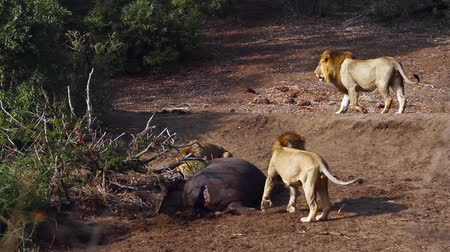 felidae : Three African lion male wiht hippo carcass in Kruger National park, South Africa; Specie Panthera leo family of Felidae