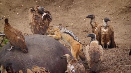 accipitridae : Black backed jackal, White backed Vulture and hooded vulture scavenging a hippo carcass in Kruger national park, South Africa Stock Footage