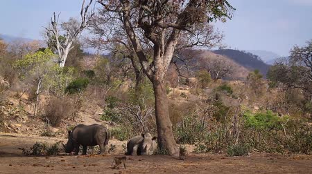 limpopo : Southern white rhinoceros and chacma baboon in Kruger National park, South Africa; Specie Ceratotherium simum family simplex of Rhinocerotidae