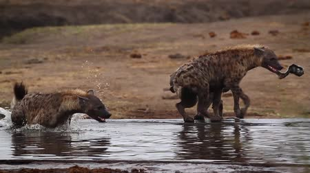mevcut : Small group of Spotted hyaena playing in savannah scenery in Kruger National park, South Africa; Specie Crocuta crocuta family of Hyaenidae Stok Video