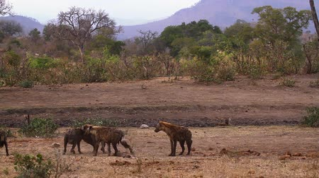 transfrontier : Small group of Spotted hyaena playing in savannah scenery in Kruger National park, South Africa; Specie Crocuta crocuta family of Hyaenidae Stock Footage