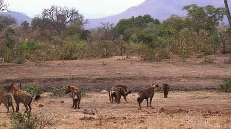 wildlife photography : Small group of Spotted hyaena playing in savannah scenery in Kruger National park, South Africa; Specie Crocuta crocuta family of Hyaenidae Stock Footage