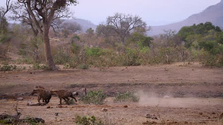 scavenger : Two Spotted hyaena running in slow motion in Kruger National Park, South Africa; Specie Crocuta crocuta family of Hyaenidae