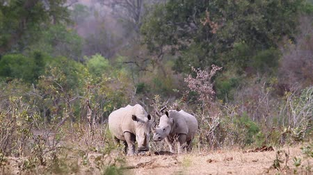 nosorožec : Kruger National Park, South Africa, Two Southern White Rhinoceros; Specie Ceratotherium simum family simplex of Rhinocerotidae